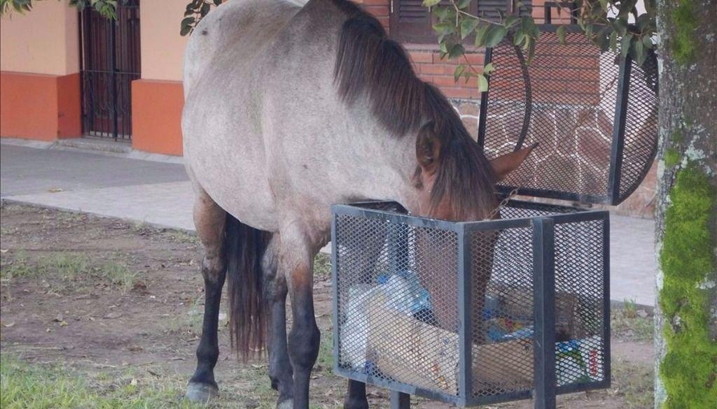 """En la ciudad, los  caballos recorren las  calles para """"basurear"""""""
