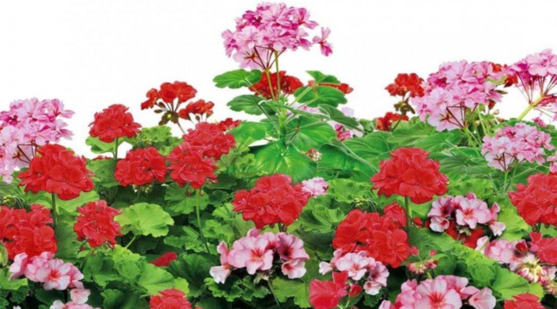 Cinco plantas que dan flores durante todo el a o - Plantas exterior todo el ano ...