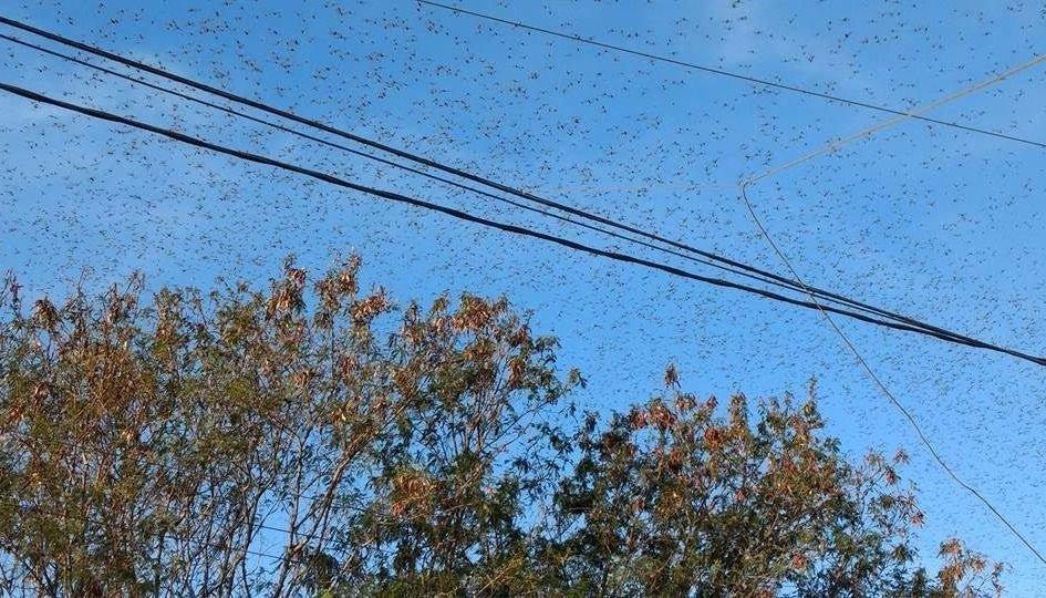 Video: las langostas atacaron cultivos de arándanos en Yatasto